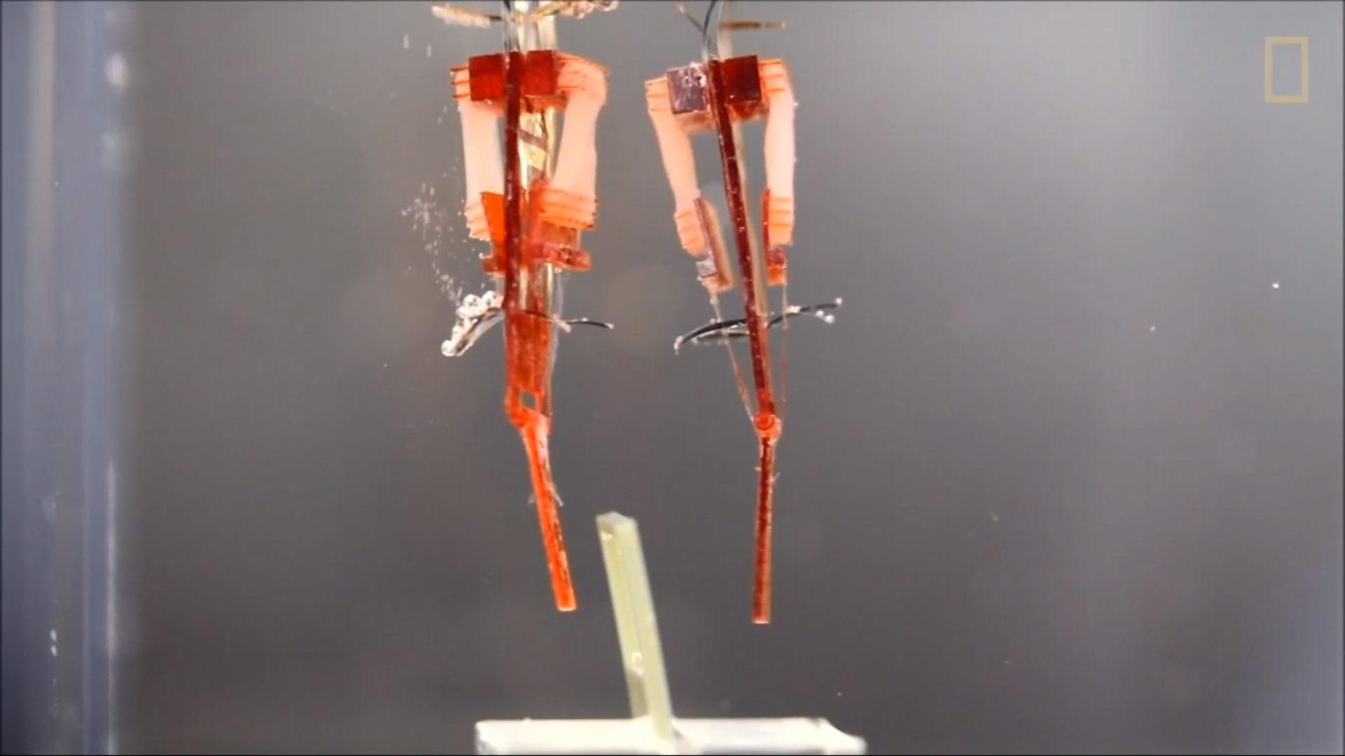 New biohybrid robot moving to pick up a loop. Courtesy of National Geographic