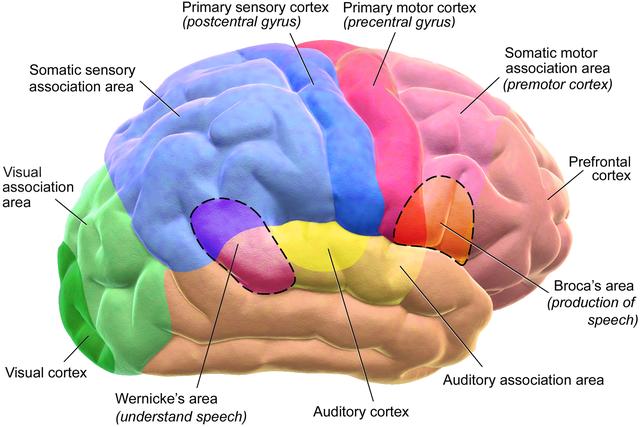 Blausen_brain_model