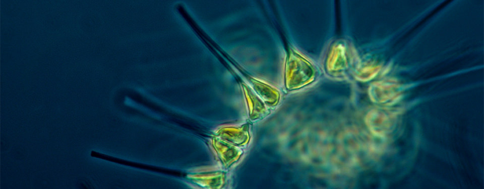 phytoplankton (1)