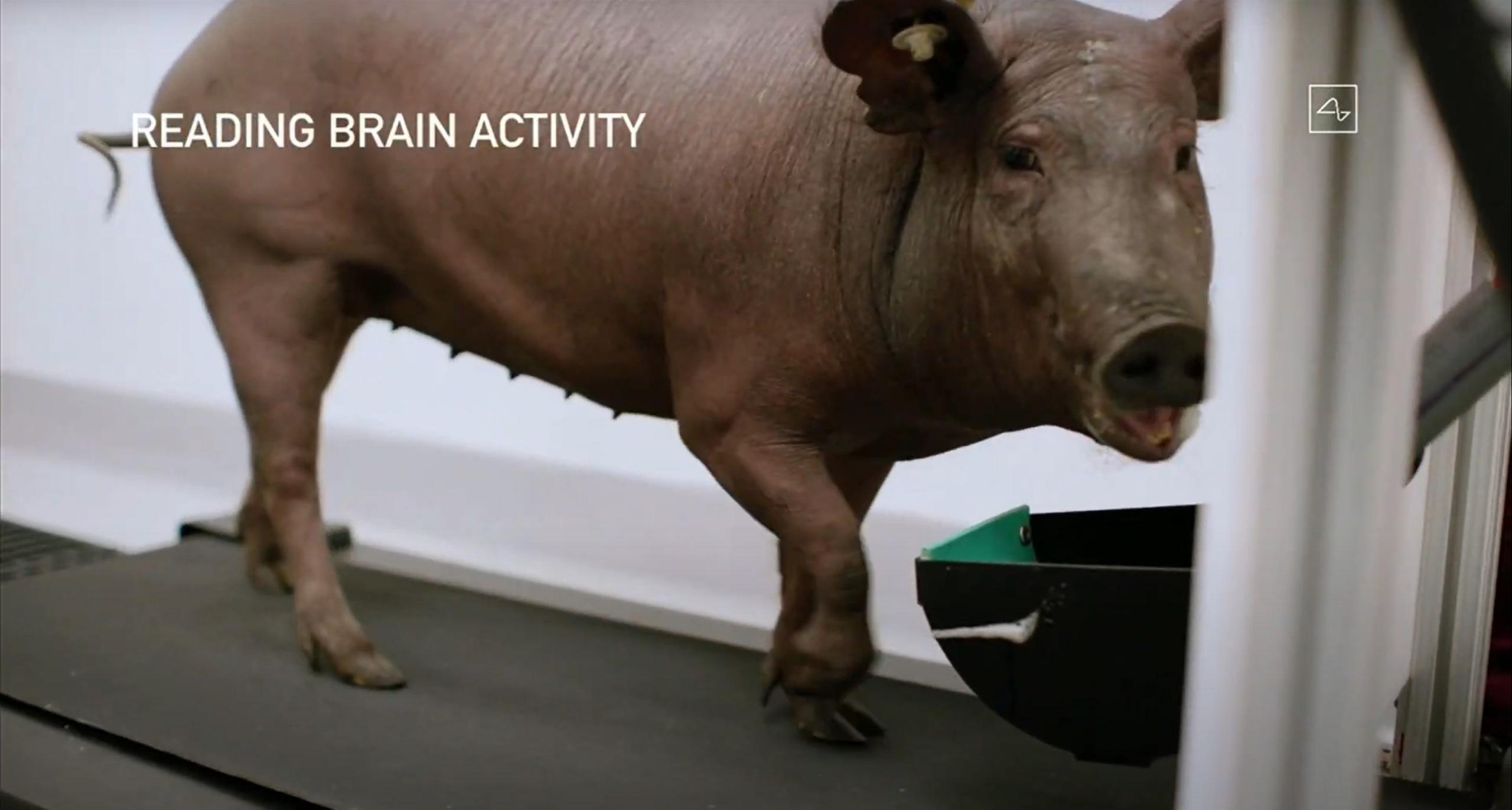 Link v0.9 (Neuralink) pig testing 1 (c)