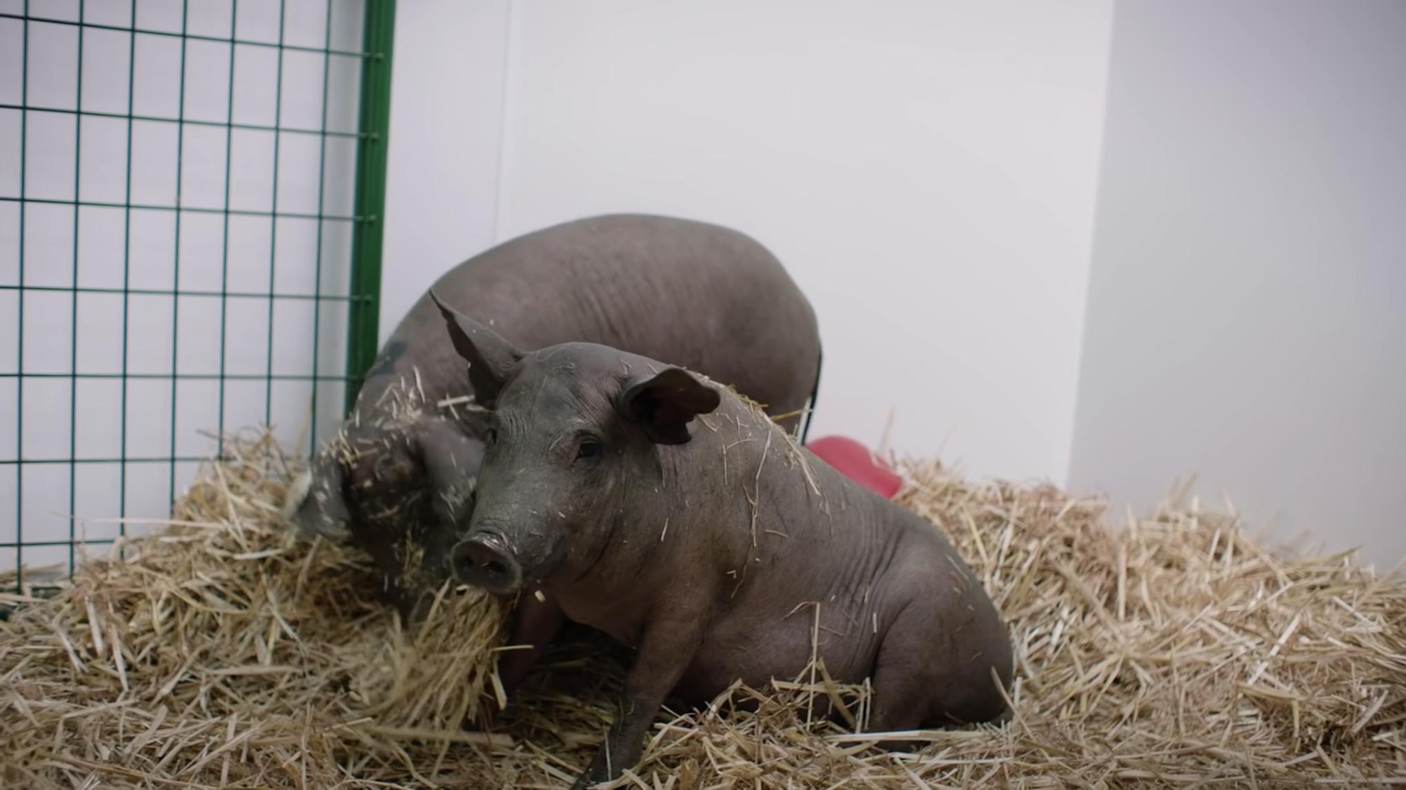 neuralink-pigs